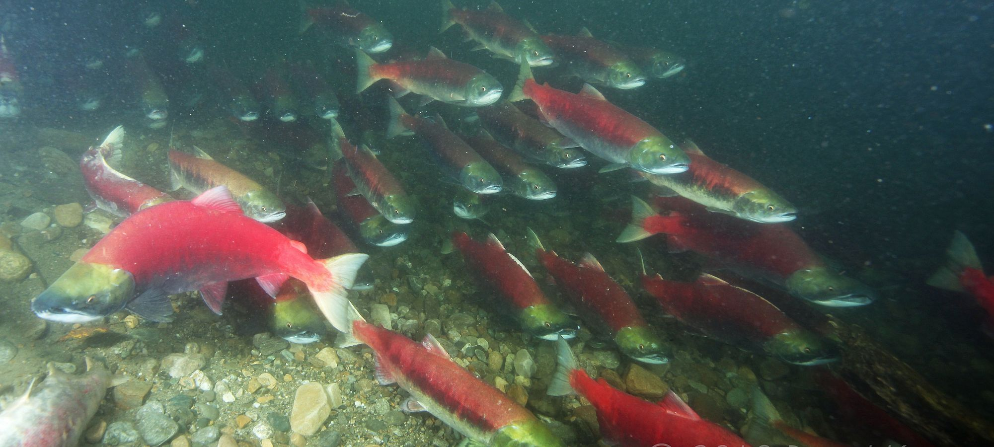 Stock assessment - Pacific salmon