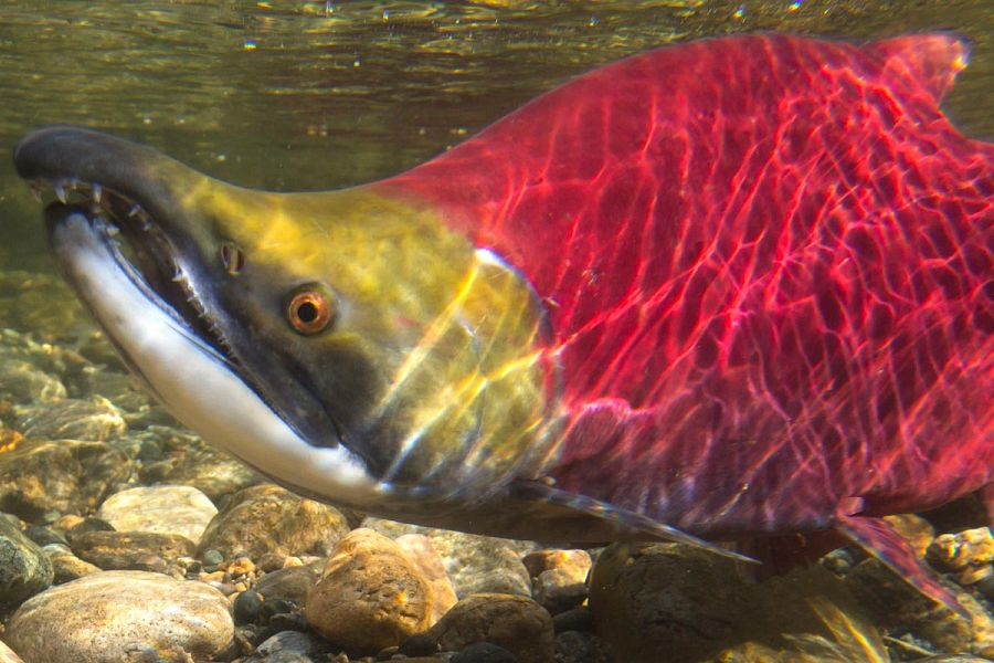 About the <em>Salmon Society</em>