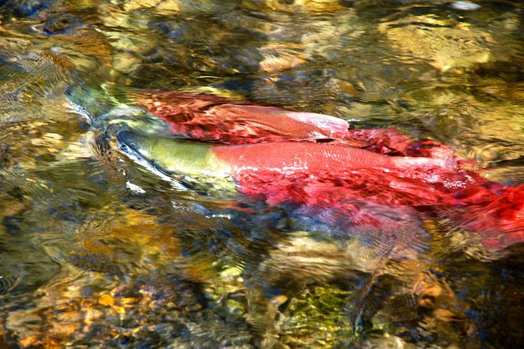 Salute to the Sockeye 2010